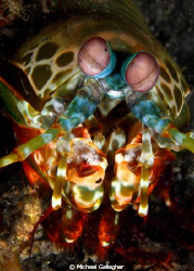Mantis Shrimp, PNG by Michael Gallagher 